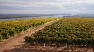 Wijngaarden van Chateau Burgozone aan de Donau